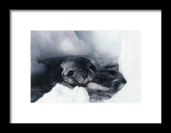 Weddell Seal Framed Print featuring the photograph Weddell Seal by Doug Allan