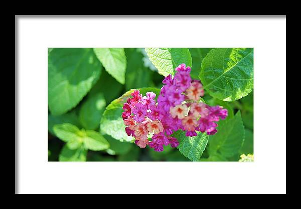 Framed Print featuring the photograph Weeping Lantana by Gornganogphatchara Kalapun