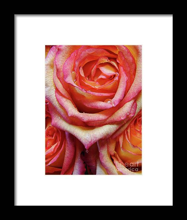 Roses Framed Print featuring the photograph Weepy Woses by Mark Holbrook