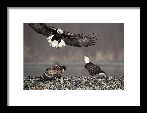 Bald Eagles Framed Print featuring the photograph Welcome by Yoshiki Nakamura