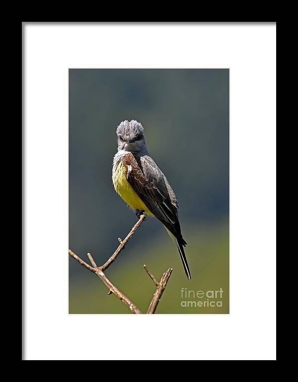 Western Kingbird Framed Print featuring the photograph Western Kingbird I I by Laura Mountainspring