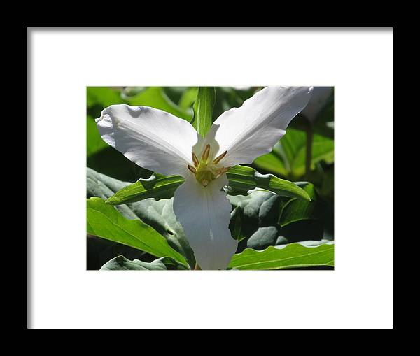 White Trillium Framed Print featuring the photograph Western Trillum by Alfred Ng