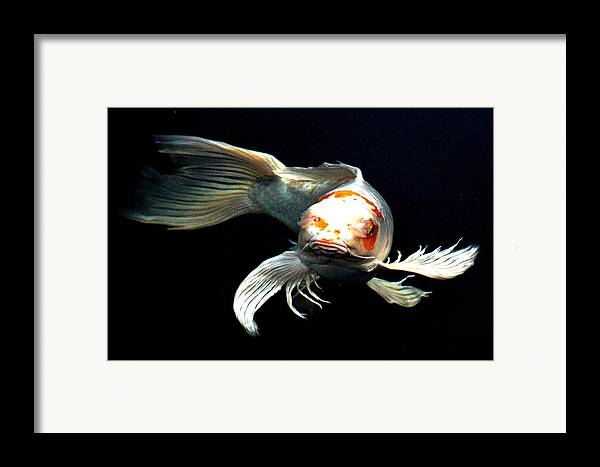 Koi Framed Print featuring the digital art What You Doin Up There by Don Mann