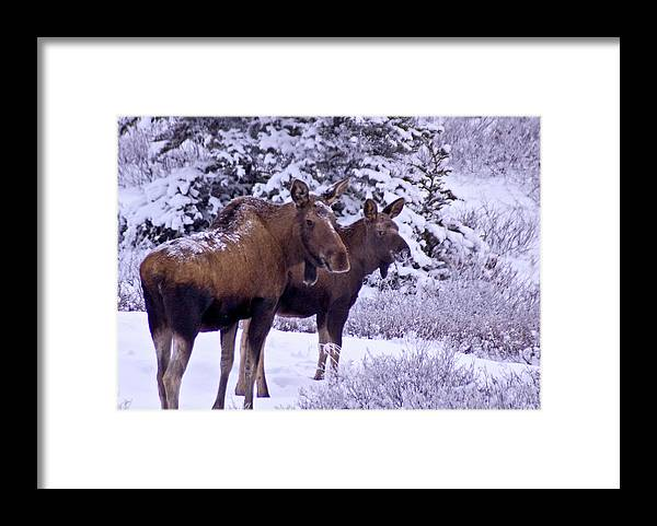 Alaska Framed Print featuring the photograph Whats That Mom by Jim and Kim Shivers