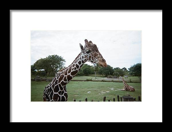 Giraffe Framed Print featuring the photograph Whats Up by Val Oconnor
