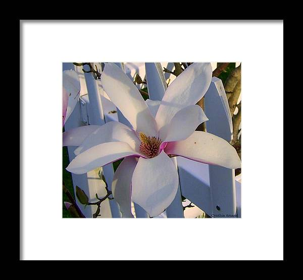 New England Flower Framed Print featuring the photograph White and Pink Magnolia by Cynthia Amaral
