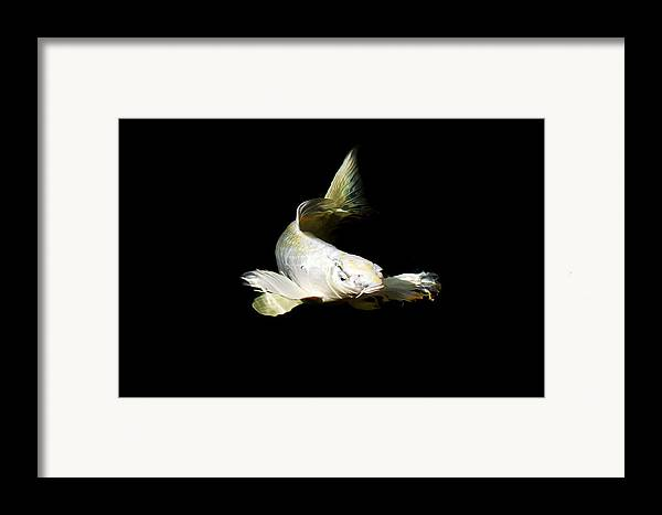 Koi Framed Print featuring the photograph White Angel by Don Mann