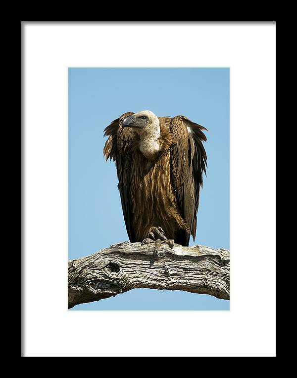 White-backed Vulture Framed Print featuring the photograph White-backed Vulture by Peter Chadwick