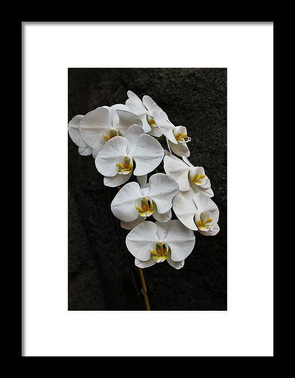 Orchid Framed Print featuring the photograph White Bliss Orchids by Jan Canavan