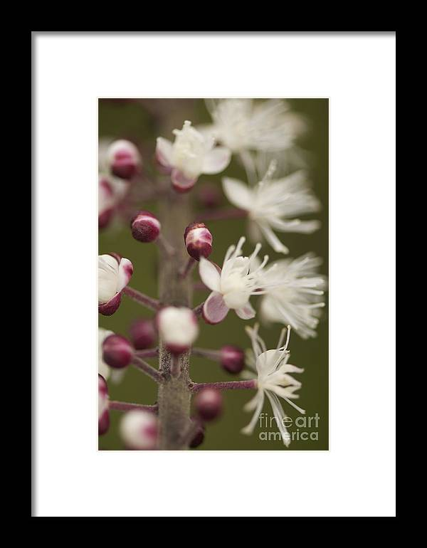 White Framed Print featuring the photograph White Blooming Flowers by Sean Stauffer