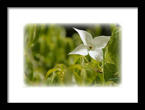 White Framed Print featuring the photograph White Dogwood After A June Rain by Mick Anderson
