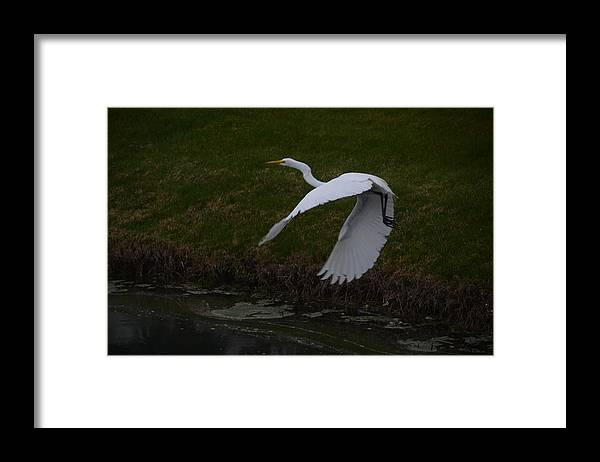 Egret Framed Print featuring the photograph White Egret by Randy J Heath