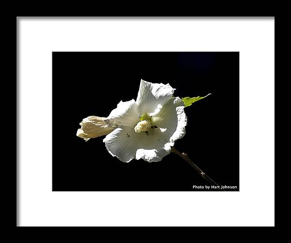 White Framed Print featuring the photograph White Flower by Hart Johnson