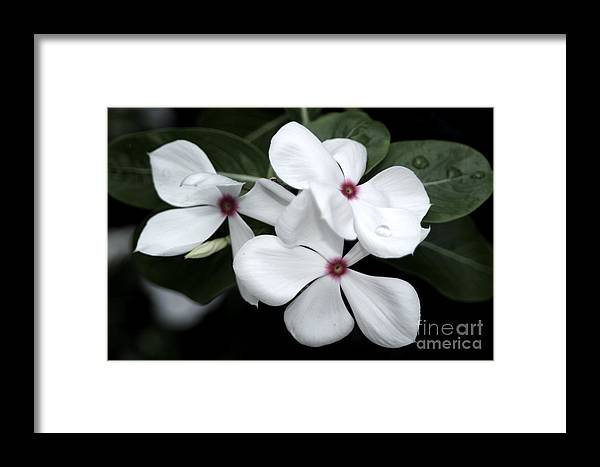 White flower with pink center framed print by melina geil white framed print featuring the photograph white flower with pink center by melina geil mightylinksfo