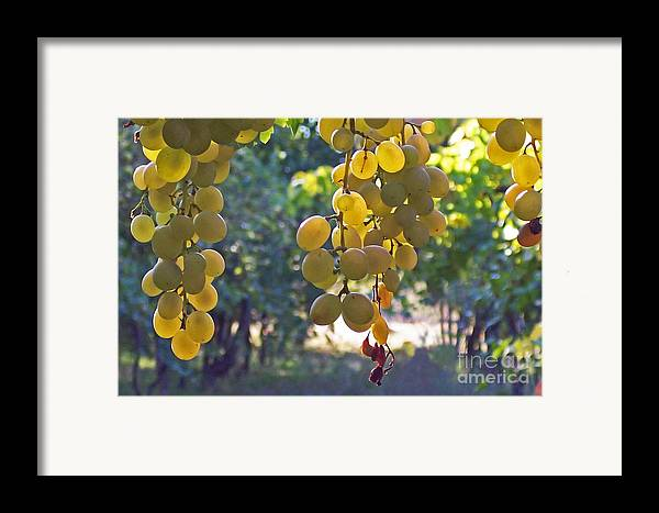 Grapes Framed Print featuring the photograph White Grapes by Barbara McMahon