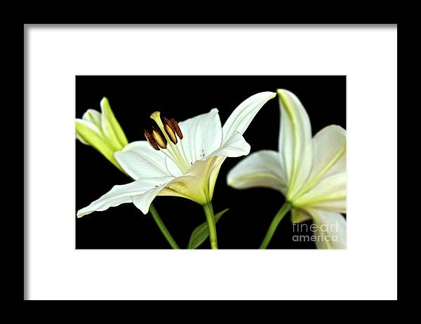 White Lilies Framed Print featuring the photograph White Lilies by Mihaela Limberea