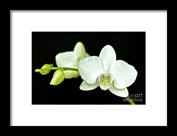 White Orchid Framed Print featuring the photograph White Orchid by Mihaela Limberea