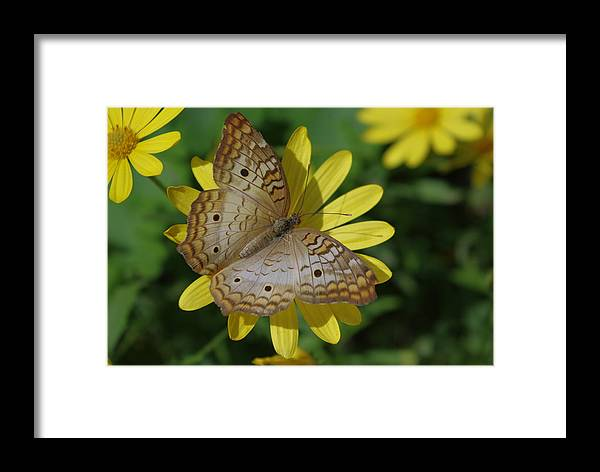 Butterfly Framed Print featuring the painting White Peacock Butterfly by Janice Semmel