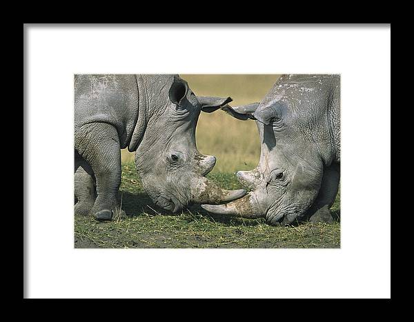Flpa Framed Print featuring the photograph White Rhinoceros Ceratotherium Simum by Martin Withers