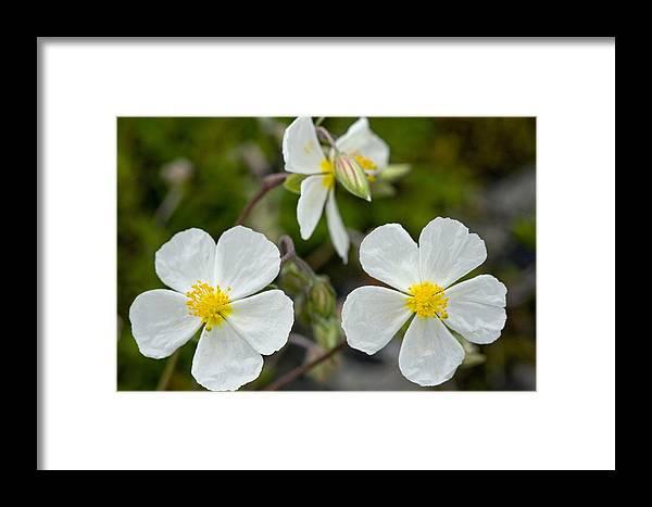 Helianthemum Apenninum Framed Print featuring the photograph White Rock-rose (helianthemum Apenninum) by Bob Gibbons
