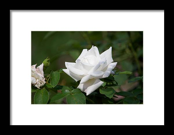 Rose Framed Print featuring the photograph White Rose by Stephen Tunis