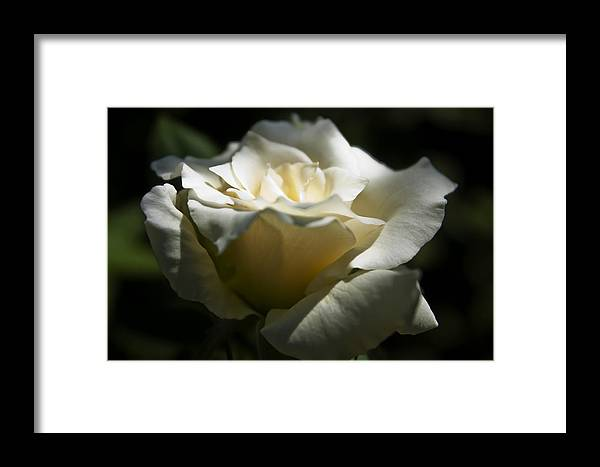 Stuff In The Yard Framed Print featuring the photograph White Rose2 by Janel Todd