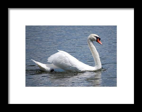 Swan Framed Print featuring the photograph White Swan On A Lake by Carrie Munoz