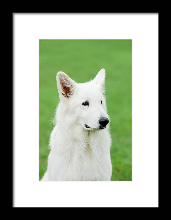 White Swiss Shepherd Dog Framed Print featuring the photograph White Swiss Shepherd Dog by Waldek Dabrowski