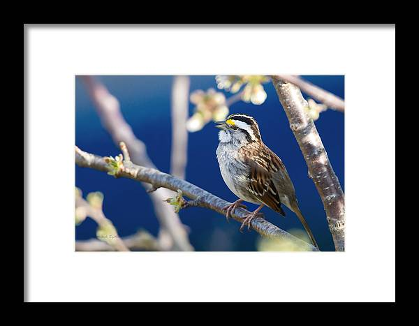 Zonotrichia Albicollis Framed Print featuring the painting White-throated Sparrow by Michaela Sagatova