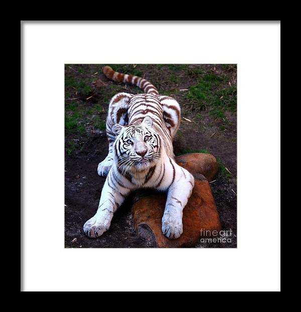 Siberia Framed Print featuring the photograph White Tiger 2 by Randy Matthews