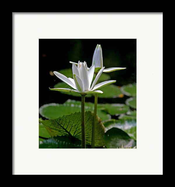 White Water Lilies Framed Print featuring the photograph White Water Lily by Lisa Spencer