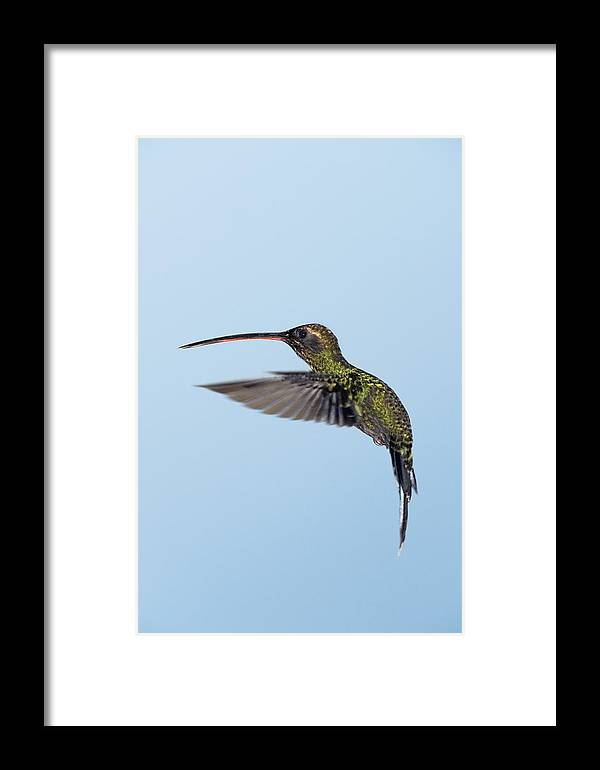 Phaethornis Yaruqui Framed Print featuring the photograph White-whiskered Hermit Hummingbird by Tony Camacho