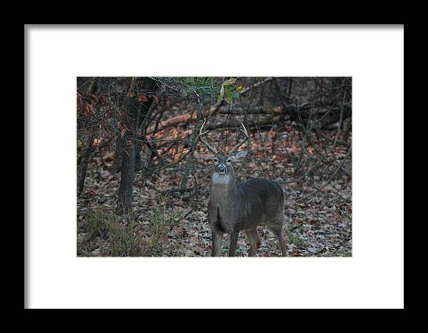 Deer Framed Print featuring the photograph Whitetail Buck by Jake Busby