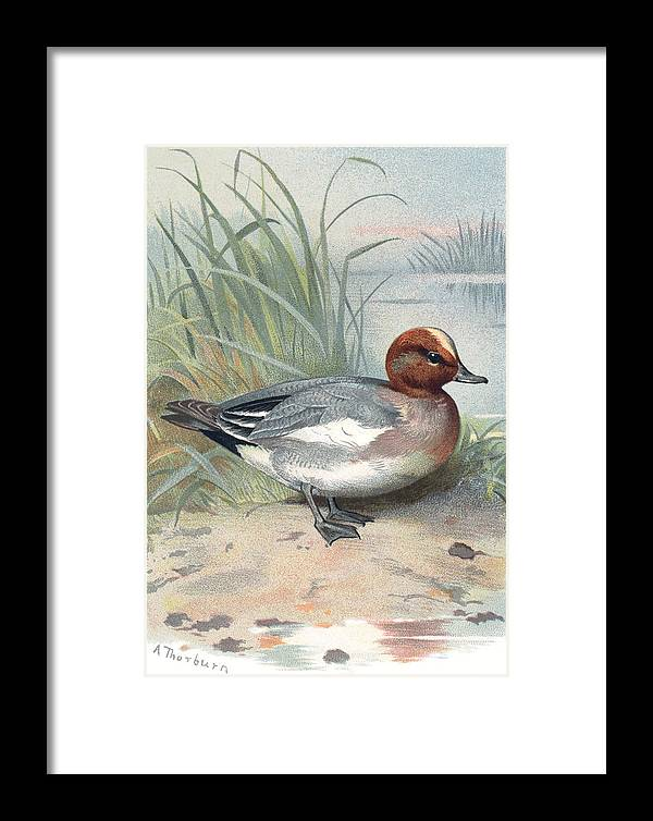Widgeon Framed Print featuring the photograph Widgeon, Historical Artwork by Sheila Terry