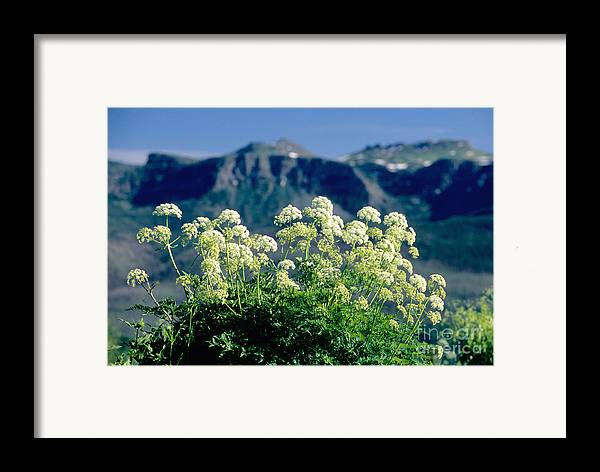 Colorado Landscape Framed Print featuring the photograph Wild Angelica by James Steinberg and Photo Researchers