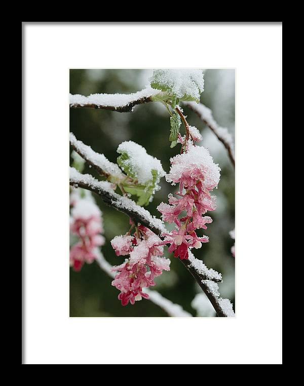 North America Framed Print featuring the photograph Wild Currant Blossoms Ribes Sanguineum by Sylvia Sharnoff