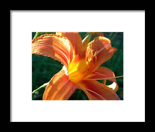 Flower Framed Print featuring the photograph Wild DayLily by Helen ONeal