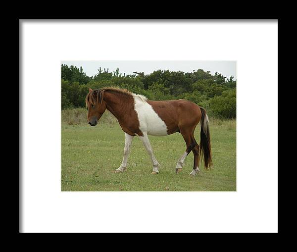 Pony Framed Print featuring the photograph Wild Pony On Assateague Island Maryland by Sven Migot