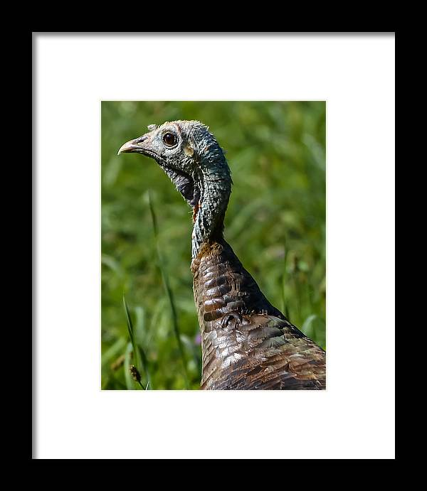Framed Print featuring the photograph Wild Turkey by Brian Stevens