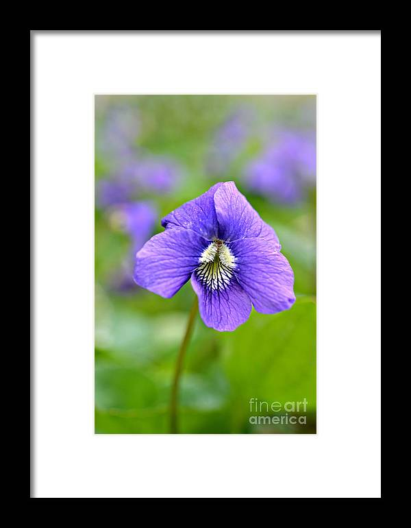Wild Violet Print Framed Print featuring the photograph Wild Violet by Lila Fisher-Wenzel