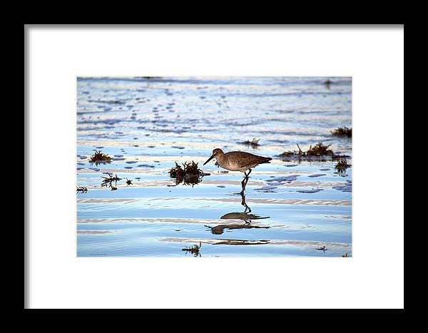 Willet Framed Print featuring the photograph Willet Walks On Water by Walt Jackson
