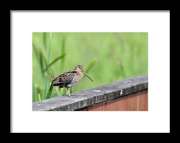 Snipe Framed Print featuring the photograph Wilson's Snipe by Angie Vogel