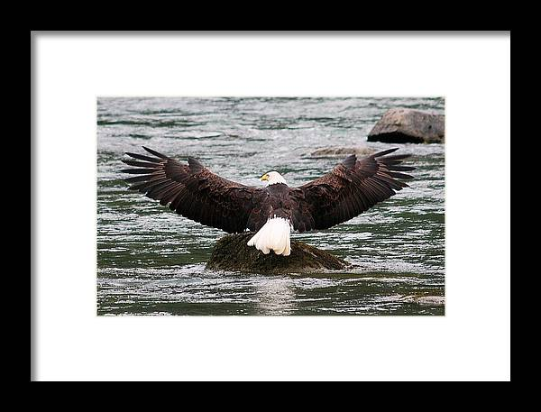 Bald Eagle Framed Print featuring the digital art Wings Of Glory 2 by Carrie OBrien Sibley