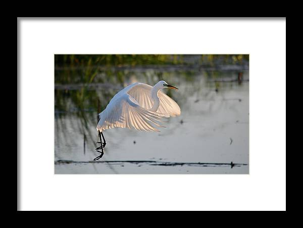 Egret Framed Print featuring the photograph Wings Of Light by Kathy Gibbons