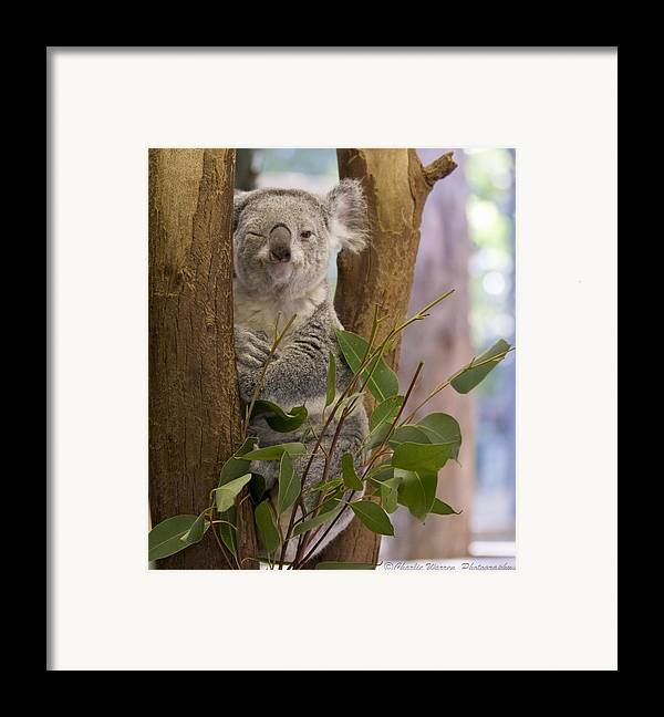 Koala Framed Print featuring the photograph Wink by Charles Warren
