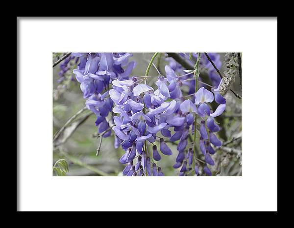 Flowers Framed Print featuring the photograph Wisteria by Helen Haw