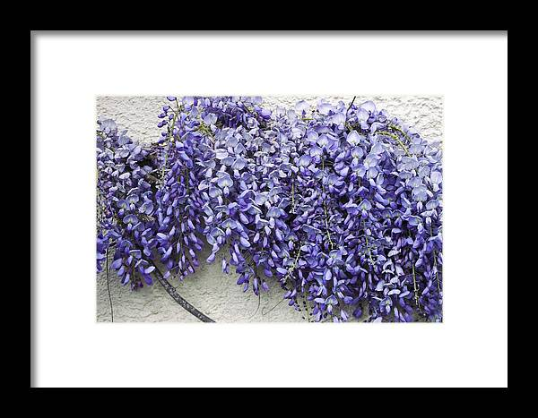Wisteria Framed Print featuring the photograph Wisteria Sp by Dr Keith Wheeler
