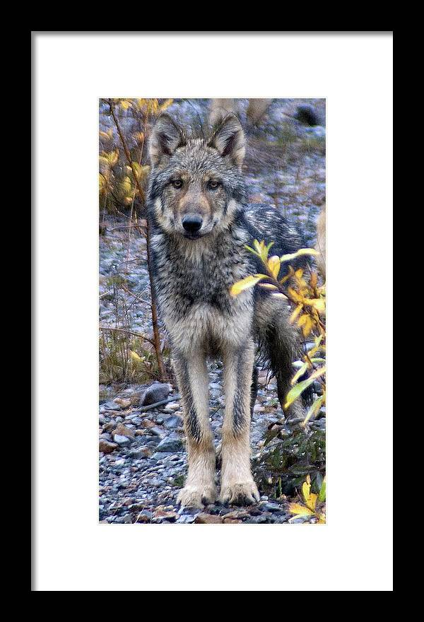 Alaska Framed Print featuring the photograph Wolf Cub in Denali by Jim and Kim Shivers