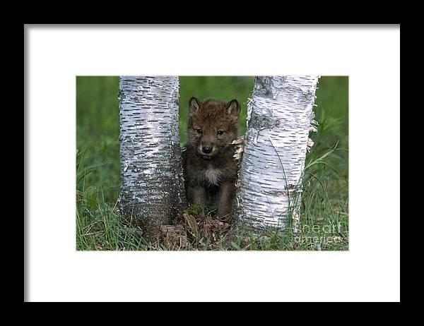 Wolves Framed Print featuring the photograph Wolf Pup Playing Peekaboo by Sandra Bronstein