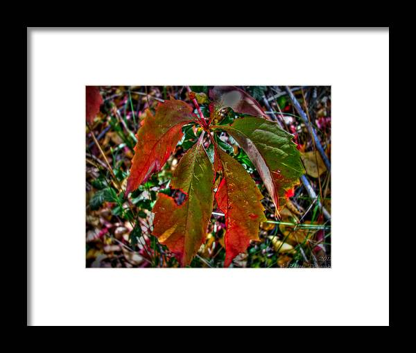 Prescott National Forest Framed Print featuring the photograph Woodbine Autumn Colors by Aaron Burrows